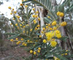 wattle growing alongside a  fire trail